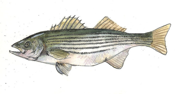 Striped Bass (National Geographic)